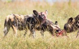 Αφρικανικό άγριο πρόσωπο αίματος σκυλιών Στοκ Φωτογραφία