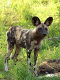Αφρικανικό άγριο σκυλί Στοκ εικόνες με δικαίωμα ελεύθερης χρήσης