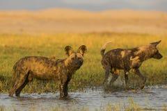 Αφρικανικό άγριο σκυλί που στέκεται στο νερό στοκ εικόνες με δικαίωμα ελεύθερης χρήσης
