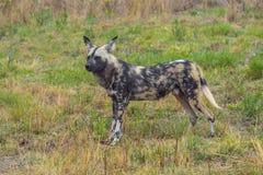 Αφρικανικό άγριο σκυλί στην επιφυλακή Στοκ Φωτογραφία