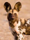 Αφρικανικό άγριο σκυλί Στοκ φωτογραφία με δικαίωμα ελεύθερης χρήσης
