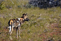 Αφρικανικό άγριο σκυλί Στοκ εικόνα με δικαίωμα ελεύθερης χρήσης
