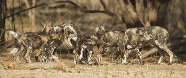 Αφρικανικό άγριο σκυλί pupies που παίζει με το κρανίο Impala Στοκ εικόνες με δικαίωμα ελεύθερης χρήσης