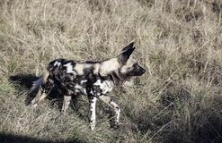 Αφρικανικό άγριο pictus Lycaon σκυλιών στη Νότια Αφρική στοκ εικόνες