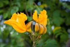Αφρικανικό δέντρο τουλιπών στοκ φωτογραφίες