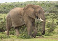 Αφρικανικό αρσενικό ελεφάντων που περπατά στις άγρια περιοχές Στοκ Φωτογραφίες