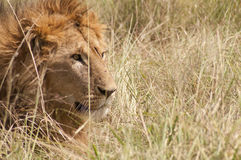 αφρικανικό αρσενικό λιον Στοκ φωτογραφία με δικαίωμα ελεύθερης χρήσης