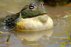 Αφρικανικό γιγαντιαίο bullfrog Στοκ Φωτογραφίες