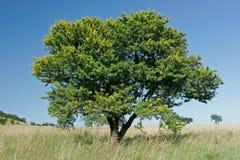 αφρικανικό δέντρο ακακιών στοκ εικόνα με δικαίωμα ελεύθερης χρήσης
