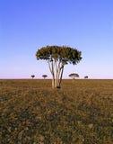 αφρικανικό δέντρο βημάτων Στοκ εικόνες με δικαίωμα ελεύθερης χρήσης