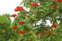 Αφρικανικό δέντρο τουλιπών, Μεξικό Στοκ Εικόνες