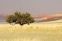 αφρικανικό δέντρο sossusvlei της Να& Στοκ φωτογραφία με δικαίωμα ελεύθερης χρήσης