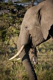 Αφρικανικό δευτερεύον σχεδιάγραμμα ελεφάντων, Κένυα στοκ φωτογραφία