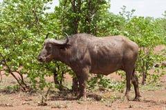 Αφρικανικό εθνικό πάρκο Kruger βούβαλων, Νότια Αφρική Στοκ φωτογραφία με δικαίωμα ελεύθερης χρήσης