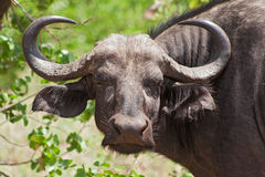 Αφρικανικό εθνικό πάρκο Kruger βούβαλων, Νότια Αφρική Στοκ Εικόνες