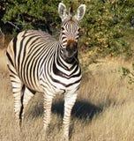αφρικανικό ζωικό σαφάρι Στοκ Εικόνες