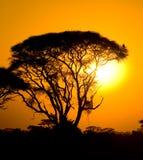 Αφρικανικό ηλιοβασίλεμα στη σαβάνα Στοκ Εικόνα
