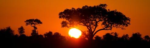 Αφρικανικό ηλιοβασίλεμα με το δέντρο ομπρελών. Σκιαγραφία Στοκ Εικόνες