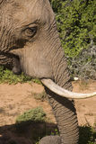 αφρικανικό θηλυκό ελεφάν Στοκ φωτογραφία με δικαίωμα ελεύθερης χρήσης