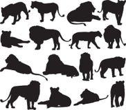 Αφρικανικό λιοντάρι και ασιατικό περίγραμμα σκιαγραφιών λιονταριών Στοκ Φωτογραφίες