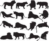 Αφρικανικό λιοντάρι και ασιατικό περίγραμμα σκιαγραφιών λιονταριών απεικόνιση αποθεμάτων