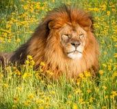 αφρικανικό λιοντάρι Στοκ Φωτογραφία