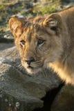 αφρικανικό λιοντάρι Στοκ φωτογραφία με δικαίωμα ελεύθερης χρήσης