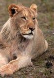 αφρικανικό λιοντάρι Στοκ Εικόνα