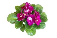 Αφρικανικό ιώδες ανθίζοντας λουλούδι Saintpaulia που απομονώνεται Στοκ Εικόνα