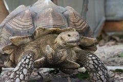 Αφρικανικό κέντρισμα Tortoise (sulcata Geochelone) Στοκ Εικόνα