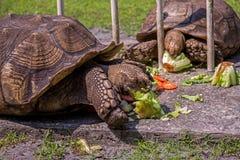 Αφρικανικό κεντρισμένο Tortoise απολαμβάνει ένα πρόχειρο φαγητό Στοκ Εικόνα