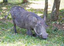 Αφρικανικό κοινό Warthog Στοκ φωτογραφίες με δικαίωμα ελεύθερης χρήσης