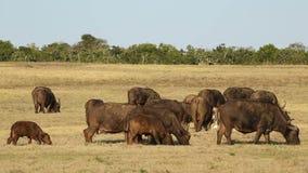 αφρικανικό κοπάδι βούβαλ&o Στοκ εικόνα με δικαίωμα ελεύθερης χρήσης