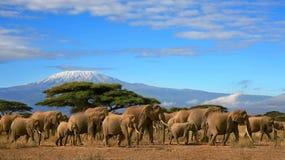 αφρικανικό κοπάδι ελεφάν&ta Στοκ Εικόνα