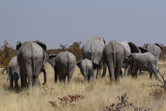 Αφρικανικό κοπάδι ελεφάντων από το οπίσθιο τμήμα στη Ναμίμπια Στοκ Φωτογραφία