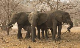 Αφρικανικό κοπάδι ελεφάντων (africana Loxodonta) Στοκ Εικόνες
