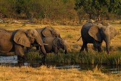 αφρικανικό κοπάδι ελεφάν&ta Στοκ Φωτογραφίες