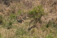 Αφρικανικό κυνήγι λεοπαρδάλεων Στοκ Φωτογραφία