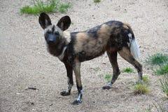 αφρικανικό κυνήγι σκυλιώ& Στοκ εικόνες με δικαίωμα ελεύθερης χρήσης