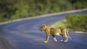 Αφρικανικό λιοντάρι στο εθνικό πάρκο Kruger, Νότια Αφρική Στοκ φωτογραφία με δικαίωμα ελεύθερης χρήσης