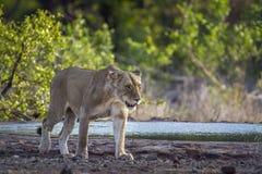 Αφρικανικό λιοντάρι στο εθνικό πάρκο Kruger, Νότια Αφρική Στοκ εικόνα με δικαίωμα ελεύθερης χρήσης