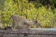Αφρικανικό λιοντάρι στο εθνικό πάρκο Kruger, Νότια Αφρική Στοκ Φωτογραφίες