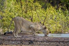 Αφρικανικό λιοντάρι στο εθνικό πάρκο Kruger, Νότια Αφρική Στοκ Εικόνες