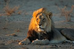 Αφρικανικό λιοντάρι στο φως ξημερωμάτων Στοκ εικόνες με δικαίωμα ελεύθερης χρήσης