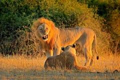 Αφρικανικό λιοντάρι, bleyenberghi leo Panthera, σκηνή δράσης ζευγαρώματος, ζωική συμπεριφορά στο βιότοπο φύσης, αρσενικό και θηλυ Στοκ εικόνα με δικαίωμα ελεύθερης χρήσης