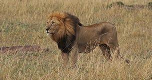 Αφρικανικό λιοντάρι, leo panthera, αρσενικό που στέκεται στη μακριά χλόη, πάρκο Masai Mara στην Κένυα απόθεμα βίντεο