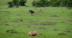 Αφρικανικό λιοντάρι, leo panthera, θηλυκό κυνήγι Wildebest, πάρκο Masai Mara στην Κένυα, απόθεμα βίντεο