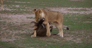 Αφρικανικό λιοντάρι, leo panthera, θηλυκό με μια θανάτωση, ένα Wildebest, πάρκο Masai Mara στην Κένυα, απόθεμα βίντεο