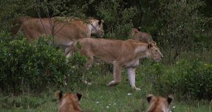 Αφρικανικό λιοντάρι, leo panthera, ομάδα που στέκεται στο θάμνο, πάρκο Masai Mara στην Κένυα, φιλμ μικρού μήκους