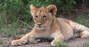 Αφρικανικό λιοντάρι, leo panthera, cub που χασμουριέται, πάρκο Masai Mara στην Κένυα, απόθεμα βίντεο